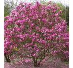 Liliomfa bíborpiros, rózsaszín 2 lit. kont.