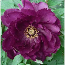Bazsarózsa fásszárú 3 literes lila