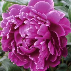 Bazsarózsa fásszárú 3 lit. telt lila