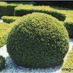 Örökzöld Puszpáng 4lit. kont. 50cm Buxus