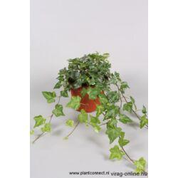 Borostyán 13cm cserépben zöld