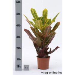 Croton excellent, Kroton 14 cm-s cserépben 40cm