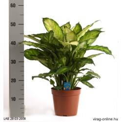 Buzogányvirág, Dieffenbachia 70cm