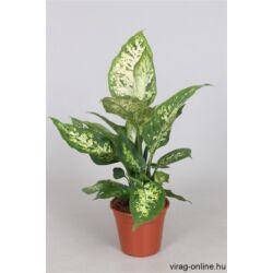 Buzogányvirág, Dieffenbachia compacta 30-40cm