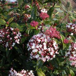 Téli Bangita, Viburnum tinus 30 cm