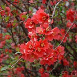 Japánbirs 30-50 cm, piros