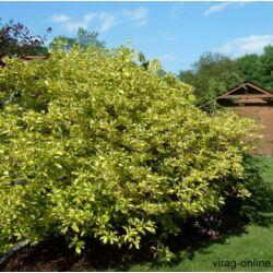 Tarkalevelű sárga Som, Cornus 40-60cm bokor
