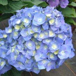 Hortenzia 'Bela Blau' 3 literes cserépben