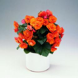 Begonia 9 cm-s cserépben 25cm