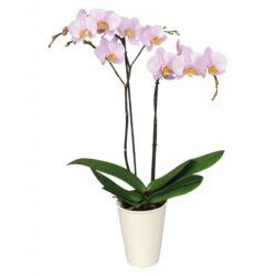 Lepke Orchidea 60cm 2 virágszálas Anthura Salinas