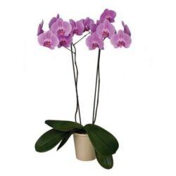 Lepke Orchidea 60cm 2 virágszálas Las Palmas