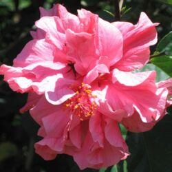 Hibiscus 12 cm-s cserépben, telt virágú, rózsaszín