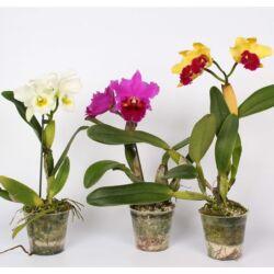Cattleya virágzó orchidea 30-40 cm