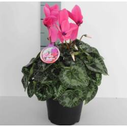 Ciklámen 13cm-s cserépben 30cm rózsaszín
