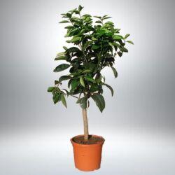 Narancs fa 80 cm