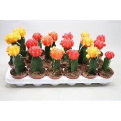 oltott kaktusz 9cm-s cserépben piros