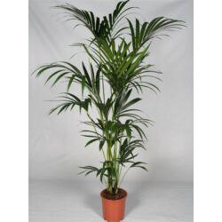 Kentia pálma 170 cm