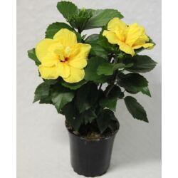 Hibiszkusz 30 cm telt virágú sárga