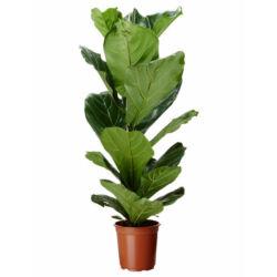 Lantlevelű Ficus 17 cm-s cserépben