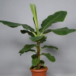 Banán 80 cm, 19 cm-s cserépben