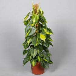 Filodendron brazil mohakarós 50-60 cm