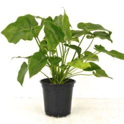 Filodendron, Philodendron selloum 12cm-s cserépben, 25-30cm