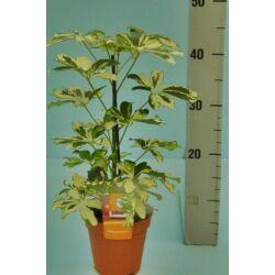 Sugárarália, Schefflera trinette 12cm-s cserépben, 40 cm