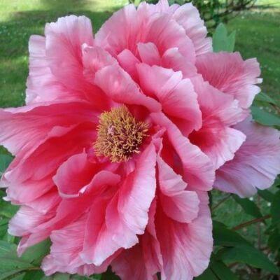 Bazsarózsa fásszárú 3 lit. halvány rózsaszín