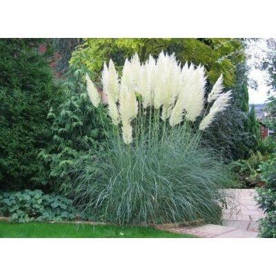 Pampafű, fehér 5 lit. kont. 80-120 cm