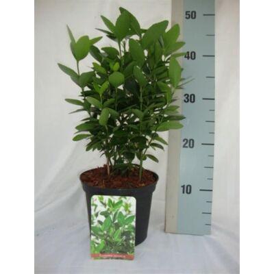 Japán Kecskerágó  30-40cm zöld