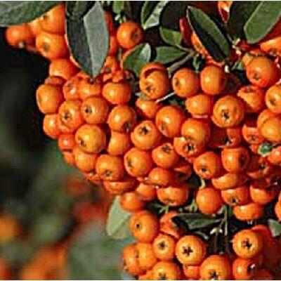 Tüztövis 40 cm, narancs Orange glow
