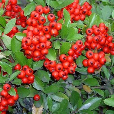 Tüztövis 40 cm, piros Dart's Red