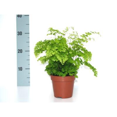 Vénuszfodorka 30cm 12cm-s cserépben