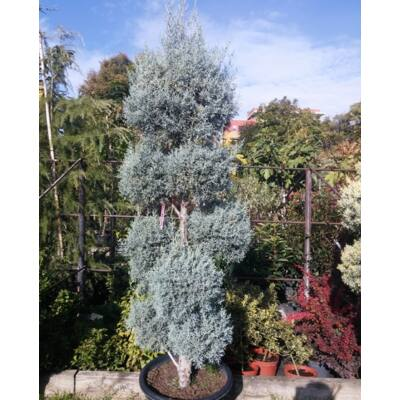 Arizóniai ciprus 170 cm, pom-pom