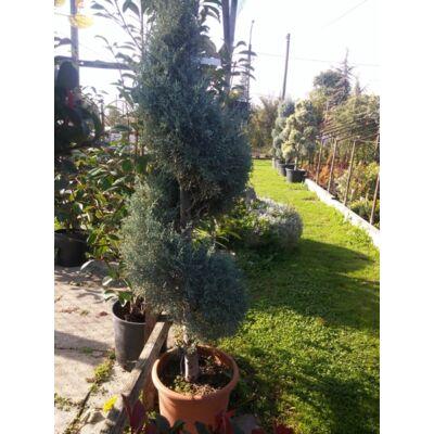 Arizóniai ciprus 140 cm, spirál