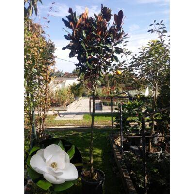 Nagyvirágú liliomfa fa 200 cm+