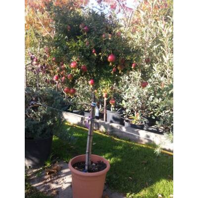 Gránátalma  törzses fa, 110 cm