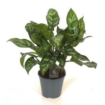 Rákvirág 30-40 cm
