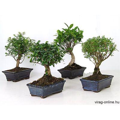 Bonsai 15cm, tálban