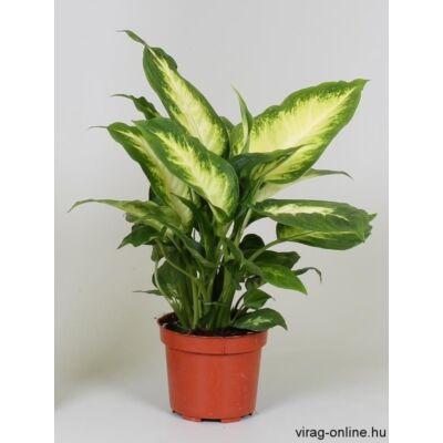 Buzogányvirág, Dieffenbachia camilla 30-40cm