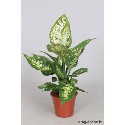 Buzogányvirág, Dieffenbachia compacta 30 cm