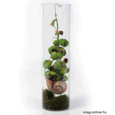 Dischidia csigaházba ültetve, üveg floráriumban