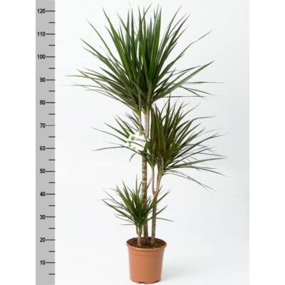 Sárkányfa 130 cm