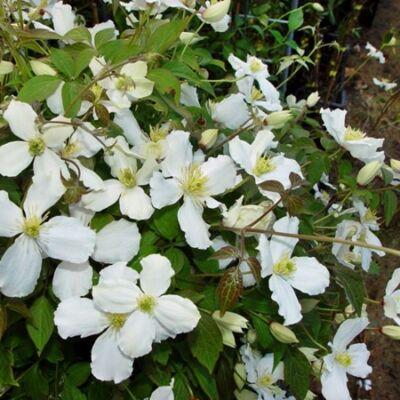 Kerti Iszalag, Clematis 2 lit. kont. montana grandiflora