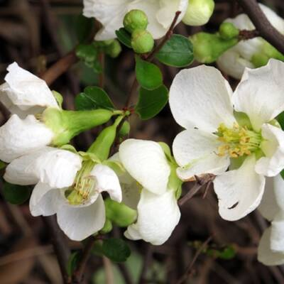 Japánbirs 30-50 cm, fehér