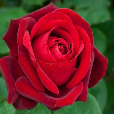 Rosa nagyvirágú, piros teahibrid rózsa, 2 l 30-40 cm