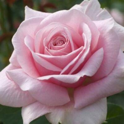 Rosa-'Frédéric-Mistral, Nagyvirágú teahibrid rózsa, 3 l 30-40 cm