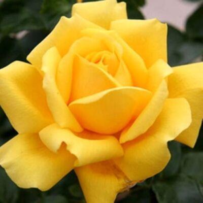 Nagyvirágú teahibrid rózsa, 3 l 30-40 cm