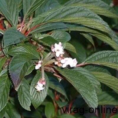 Kikeleti Bangita, Viburnum 2 literes kont. 30-40cm