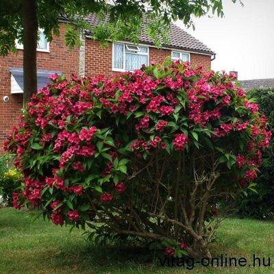 Piros virágú Rózsalonc, Weigela 2 literes kont. 30-40cm